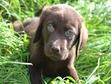 Chiots Labrador mignons à vendre