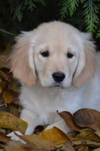 Choit Golden Retriever